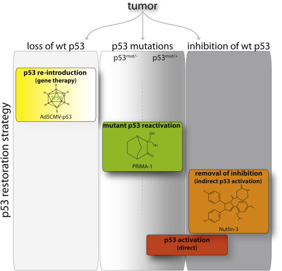 gr2 from tumor prevention to therapy empowering p53 to fight back  at gsmx.co