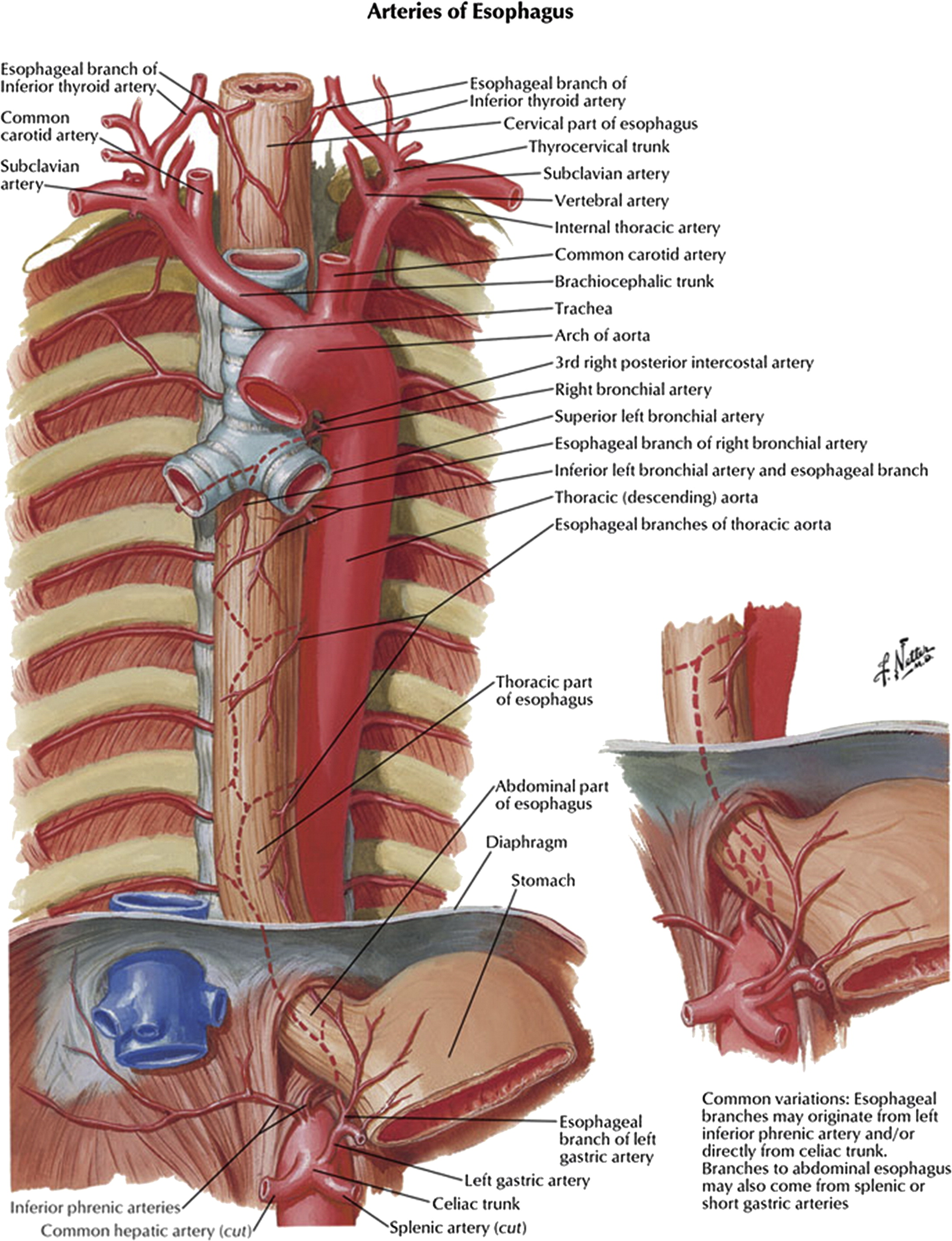 Colorful Bronchial Artery Anatomy Festooning - Physiology Of Human ...