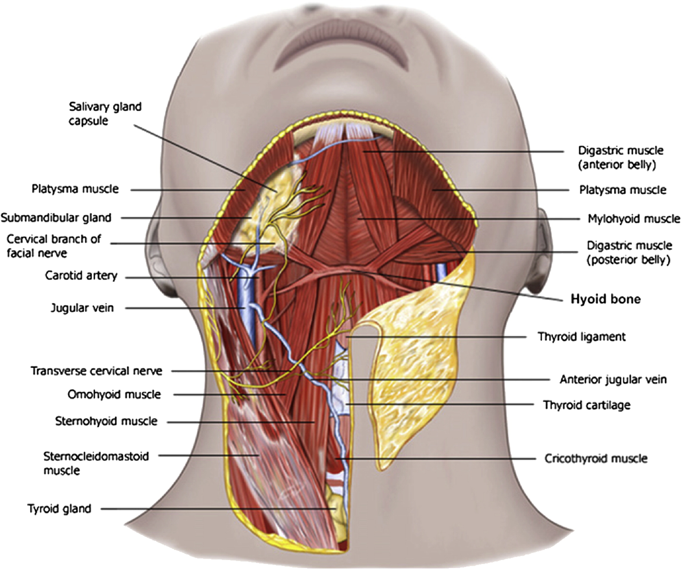 Anatomy and Physiology of the Aging Neck - Facial Plastic Surgery ...