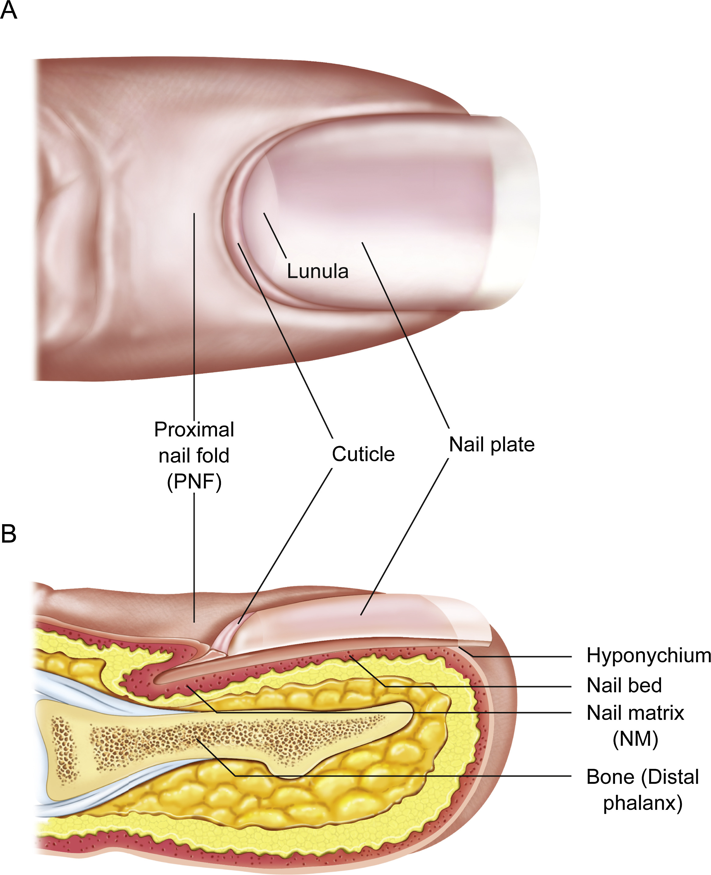 Exploring The Biology Of The Nail An Intriguing But Less