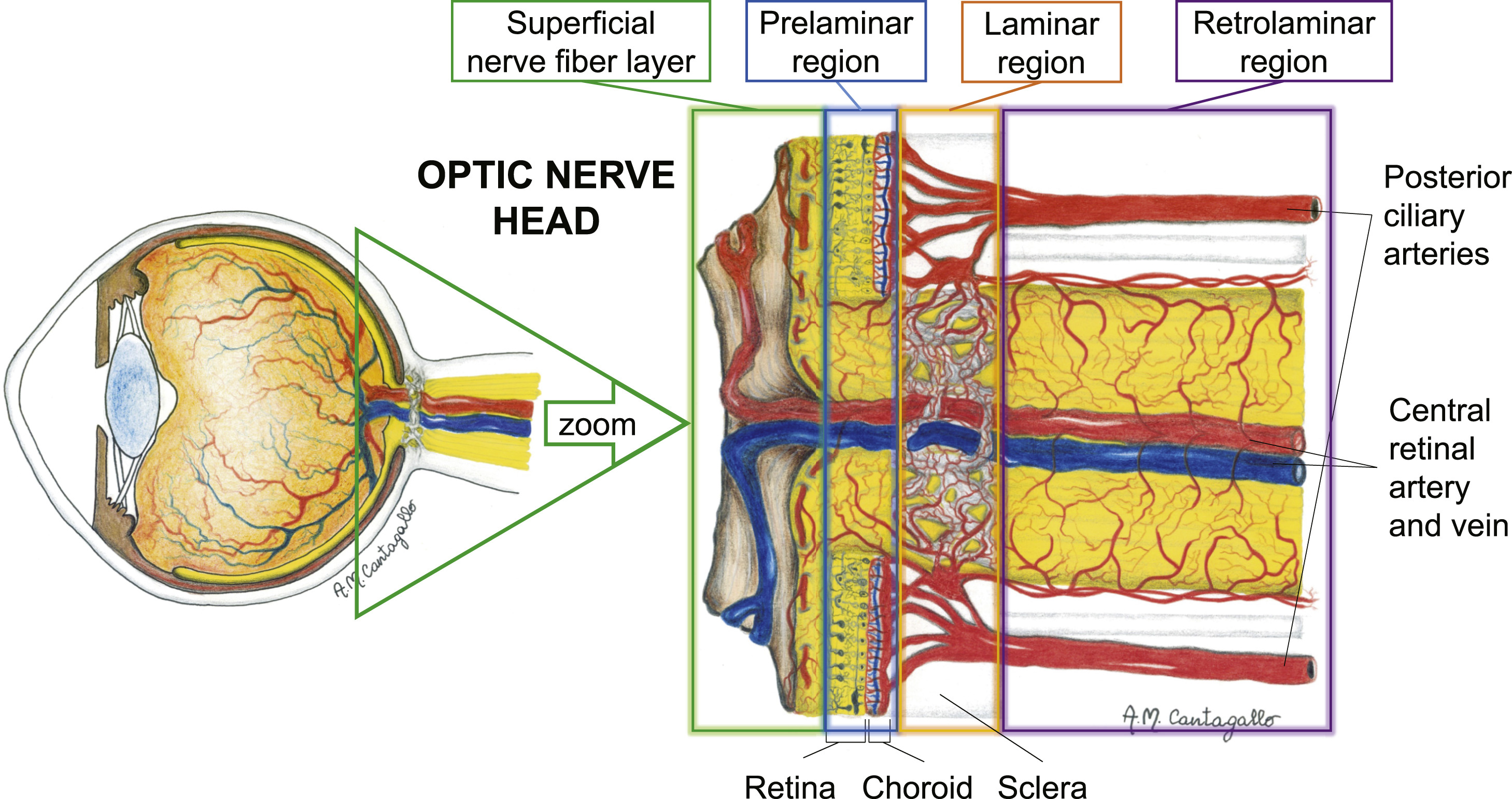 Autoregulation and neurovascular coupling in the optic nerve head ...