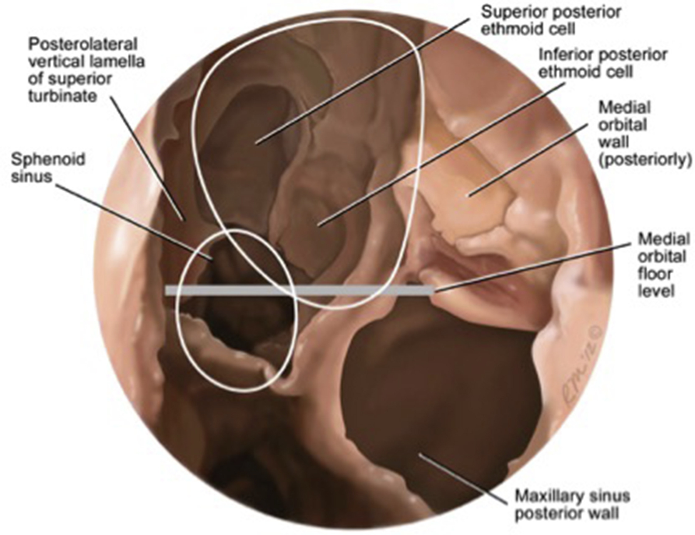 Ear Sinus Anatomy Images Human Body Anatomy