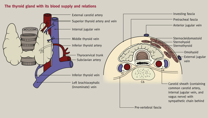 Anatomy Of The Thyroid Parathyroid Pituitary And Adrenal Glands