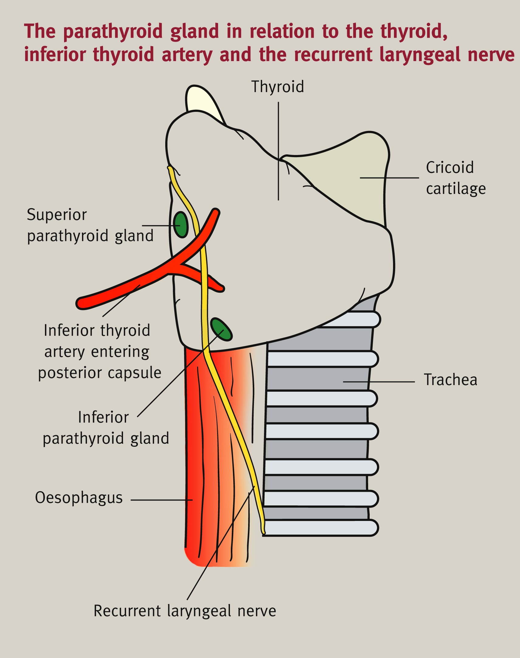 Anatomy of the thyroid, parathyroid, pituitary and adrenal glands ...